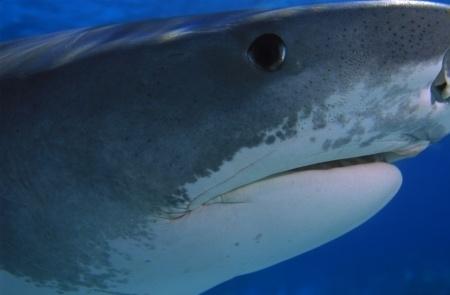 イタチザメの画像 p1_33