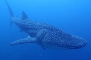 ジンベイザメの体の幅