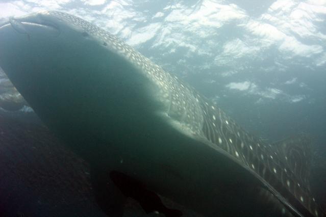 ジンベエザメ   サメの図鑑