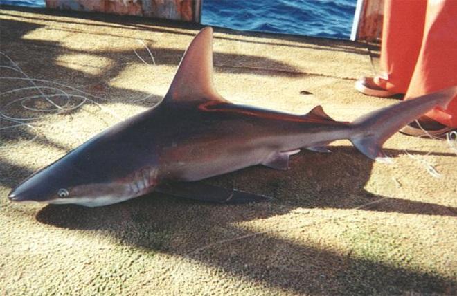 メジロザメ(ヤジブカ)   サメの...