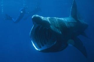 ウバザメは昼間に活動して ...